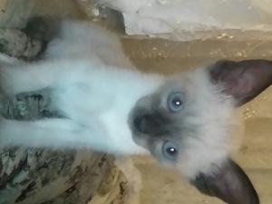 0-3 Aylık kedi Elvan Mah.