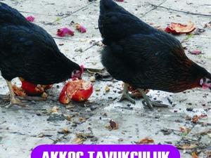 Büyükakçaalan Köyü hayvanlar ilanı ver