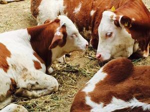 Ayaz Köyü hayvanlar ilanları