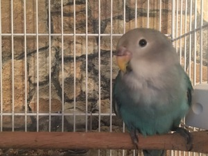 Sahibinden Dişi ve Erkek Papağan Yenibosna Merkez Mah.