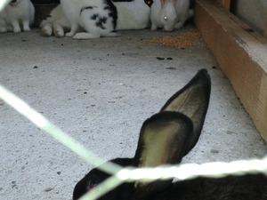 Dişi ve Erkek tavşan Yayalar Mah.
