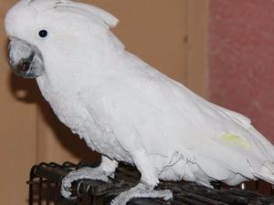 Papağan ilanları Hıdıruşağı Köyü