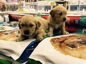 Golden retriever Dişi köpek