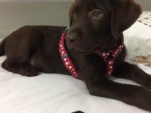 Labrador Erkek Yenibosna Merkez Mah.