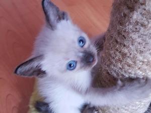 Erkek kedi 1. Anafartalar Mah.