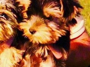 Yorkshire terrier 0 TL Beylikbağı Mah.