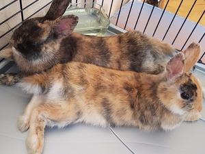 Diğer tavşan ırkı Erkek tavşan