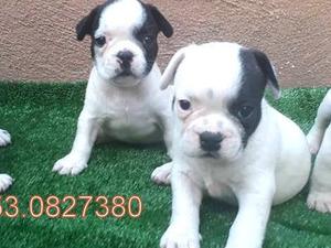 French bulldog Dişi ve Erkek köpek