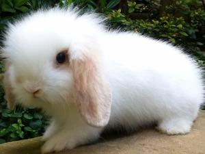 tavşan ilanları