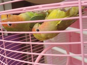 Cennet papağanı Pendik