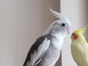 Sultan papağanı Sancaktepe