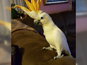yaş 6-12 Aylık Papağan Baklacı Mah.