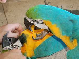 Afrika gri papağanı / jako papağanı 6-12 Aylık Anafartalar Mah.