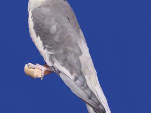 Beyazevler Mah. Papağan ilanları