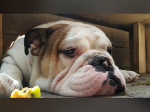 English bulldog yaş 1