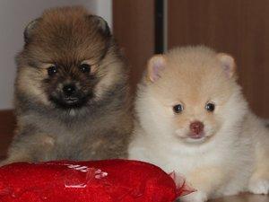 Pomeranian Dişi ve Erkek Orta Mah.