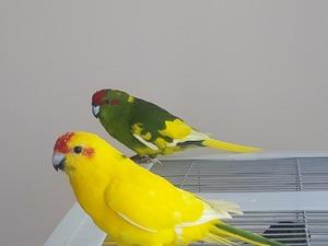 Dişi ve Erkek Papağan Sancaktepe