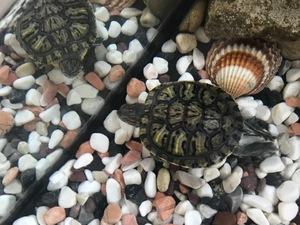 Mimaroba kaplumbağa ilanı