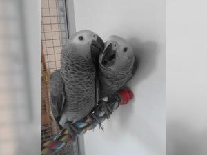 Afrika gri papağanı / jako papağanı 6-12 Aylık