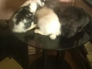 6-12 Aylık tavşan Barbaros Mah.