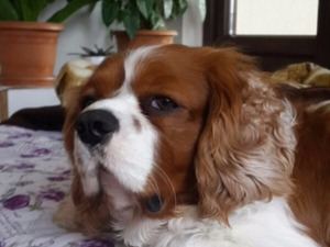 Cavalier king Charles yaş 2