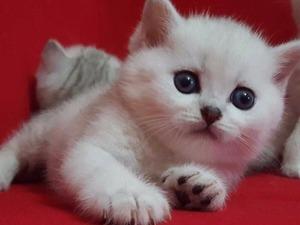 British shorthair kedi Bakırköy