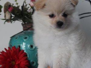 Aşılı Pomeranian