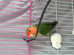 Cennet papağanı 3-6 Aylık