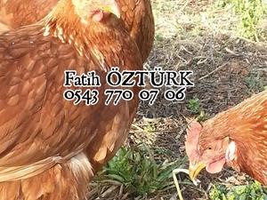 Cumhuriyet Mah. hayvanlar fiyatları