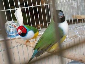 Yeşilova Mah. Finch kuşu ilanı ver