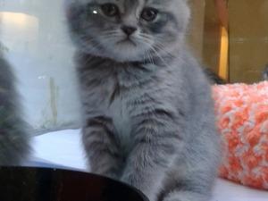 British shorthair Dişi ve Erkek kedi