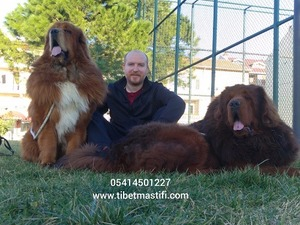 Diğer köpek ırkı Sahibinden 1 TL