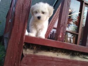 Maltese terrier yaş 0-3 Aylık Çelebi Mah.