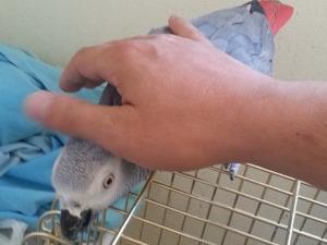 Afrika gri papağanı / jako papağanı 1 Topselvi Mah.