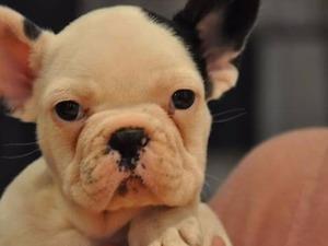French bulldog Dişi ve Erkek Çatalarık Mah.