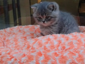 British shorthair kedi Güzelbahçe