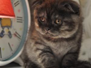 Scottish fold Dişi ve Erkek kedi