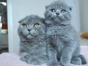 Scottish fold 1300 TL Mevlanakapı Mah.