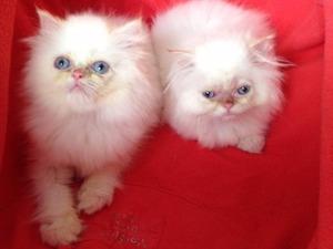 İran kedi Kadıköy