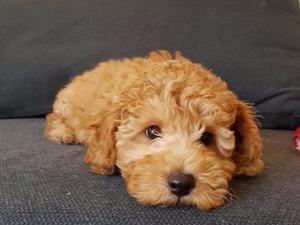 Poodle yaş 3-6 Aylık