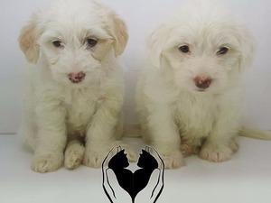 White terrier Cumhuriyet Mah.