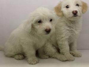 köpek White terrier fiyatları