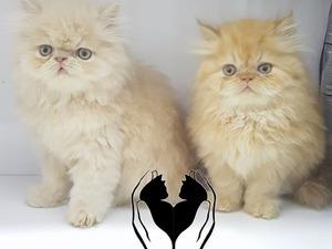 Cumhuriyet Mah. kedi ilanı ver