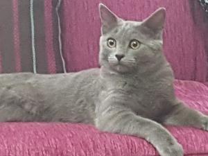 British shorthair Erkek kedi