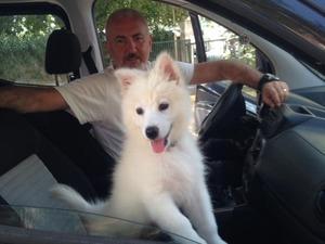 Samoyed yaş 3-6 Aylık