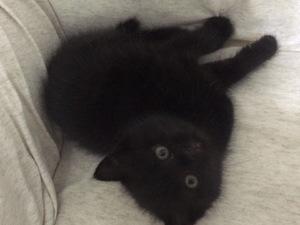 british-chinchilla erkek yavru