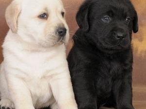 Labrador Dişi ve Erkek Bahçelievler Mah.