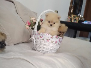 Pomeranian yaş 3-6 Aylık
