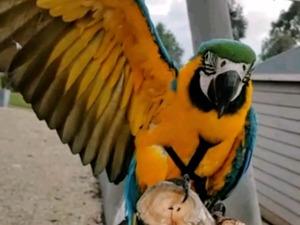 Sarı mavi ara papağanı Osmangazi
