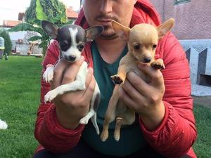 Chihuahua Ayrancı Mah.